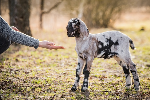 Piccolo ritratto di capra boera sudafricana sulla natura