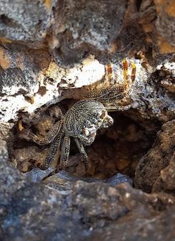 Un piccolo granchio di mare macchiato fa capolino da un visone in una roccia di mare di pietra. sono sceso a terra e guarda il sole