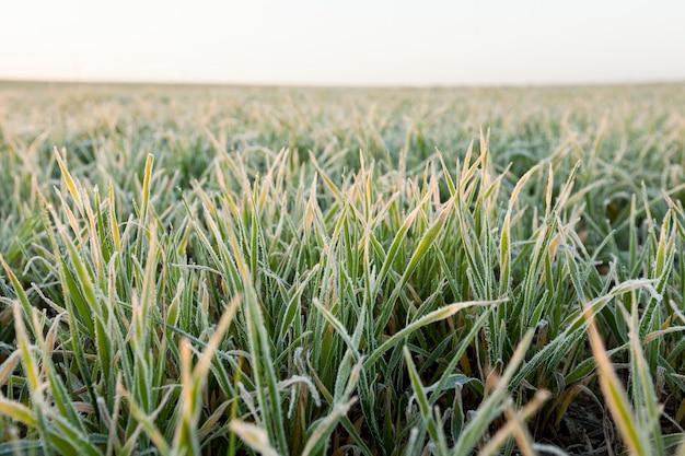 Piccoli germogli di grano dopo il gelo all'alba, una piccola profondità di campo