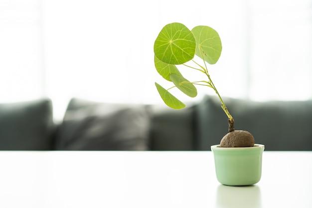 Piccola stephania erecta craib piantata in un vaso e decorata sullo scaffale del libro con copyspace.