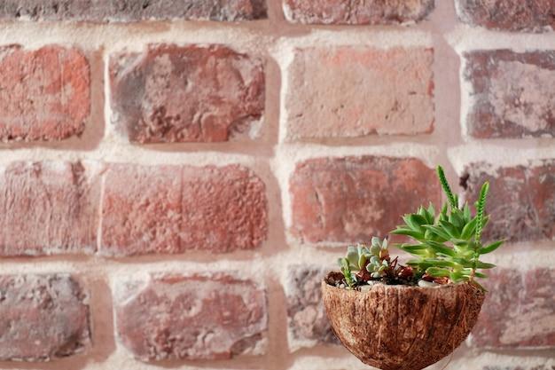 Piccole piante grasse in un guscio di noce di cocco sullo sfondo di un muro di mattoni. vista laterale ravvicinata, copia spazio per il testo. idea di articoli riciclabili, zero sprechi. idee per la decorazione dell'ufficio