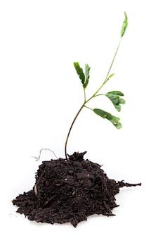 Piccolo albero su bianco