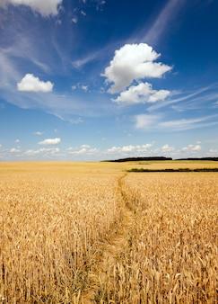 Il piccolo sentiero calpestato in un campo agricolo