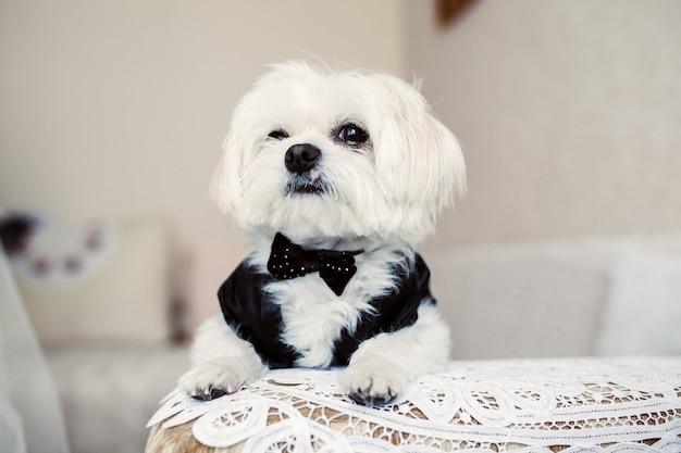 Piccolo cane bianco vestito come groomsman