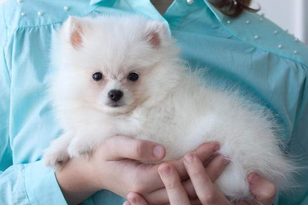 Un cucciolo di pomerania piccolo, bianco e soffice è tenuto tra le braccia di una ragazza con una camicia turchese.