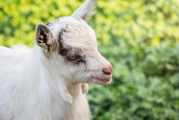 Una piccola capra bianca da vicino su uno sfondo sfocato verde