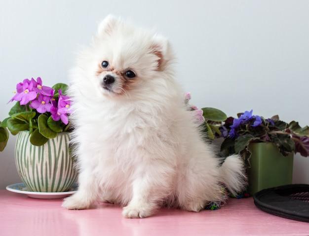 Un piccolo cucciolo di pomerania di due mesi bianco si siede su uno sfondo bianco accanto a fiori di violetta, alzando la testa.