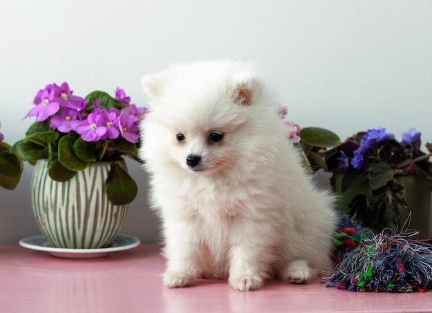Un piccolo cucciolo bianco di pomerania di due mesi siede vicino su uno sfondo bianco accanto alle viole.