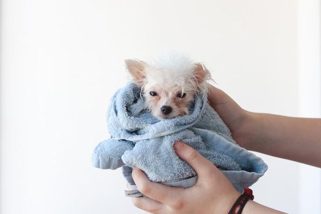Un cucciolo di pomerania piccolo, bianco, bagnato e patetico è avvolto in un asciugamano blu, tenuto da due mani.