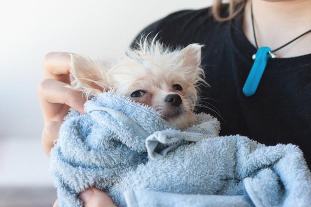 Un cucciolo di pomerania piccolo, bianco, bagnato e patetico è avvolto in un asciugamano blu e tenuto tra le braccia.