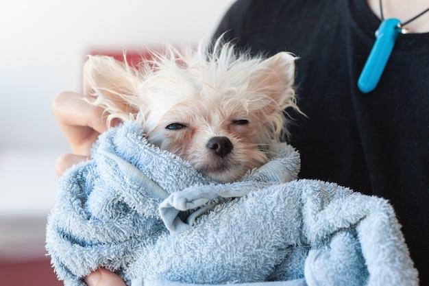 Un piccolo cucciolo di pomerania, bianco, bagnato, patetico, avvolto in un asciugamano blu, con gli occhi chiusi, tra le braccia.