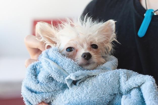 Un cucciolo di pomerania piccolo, bianco, bagnato e patetico avvolto in un asciugamano blu guarda la telecamera, tenuta tra le braccia.