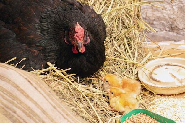 Piccolo pulcino giallo vicino alla gallina. pollo con un piccolo pulcino