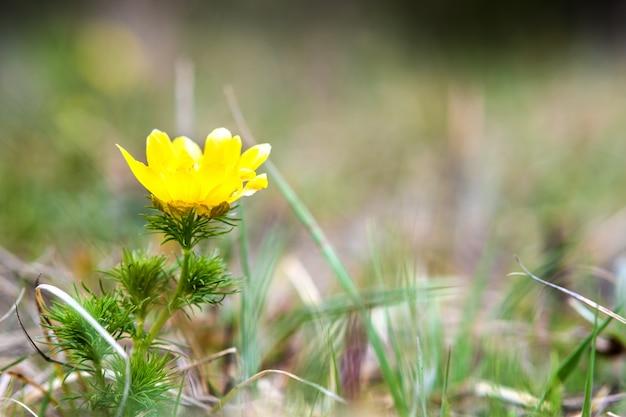 Piccolo wildflower giallo che fiorisce nel giacimento verde della molla
