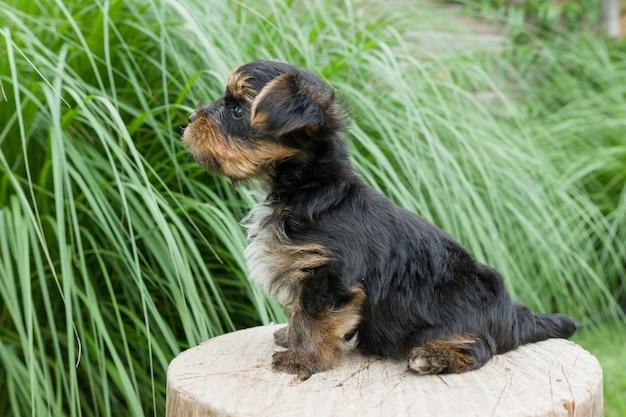 Piccolo cucciolo dell'yorkshire terrier nella natura
