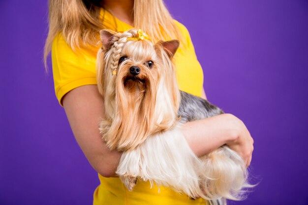 Piccolo yorkshire terrier su sfondo viola