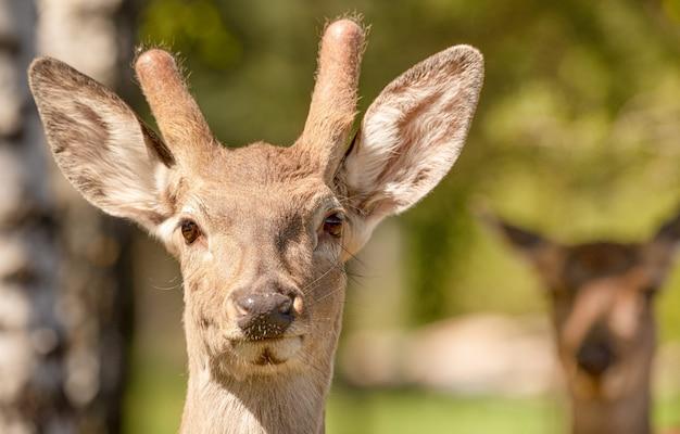 Un piccolo o giovane cervo rosso maschio con corna non sviluppate in natura.