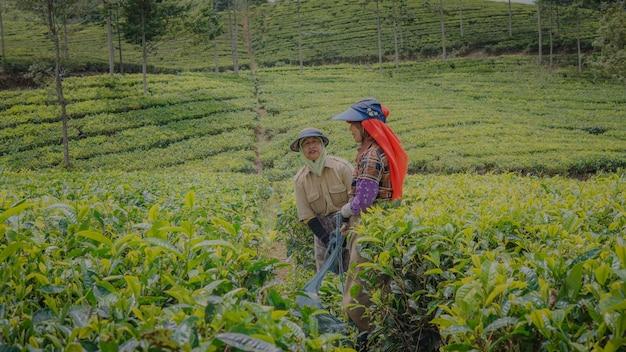 I sorrisi di due coltivatori di tè al lavoro