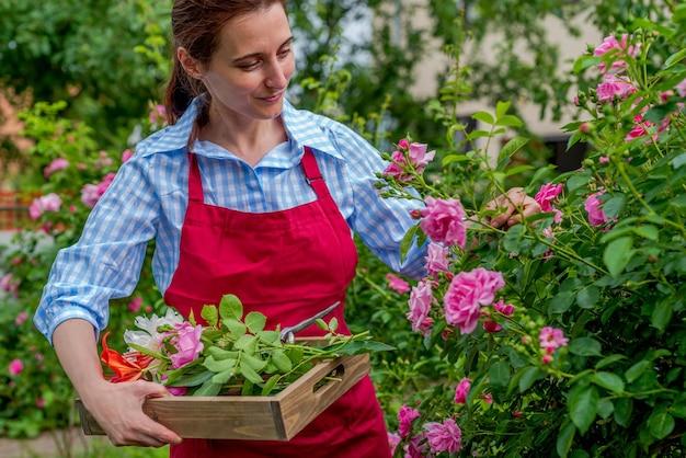 La signora sorridente ammira la rosa in fiore in una giornata di sole. giardinaggio primaverile ed estivo.