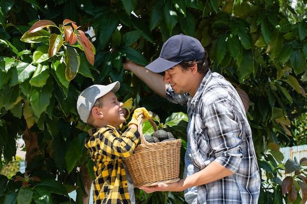 Sorridente giovane agricoltore con figlio che raccoglie la raccolta di avocado