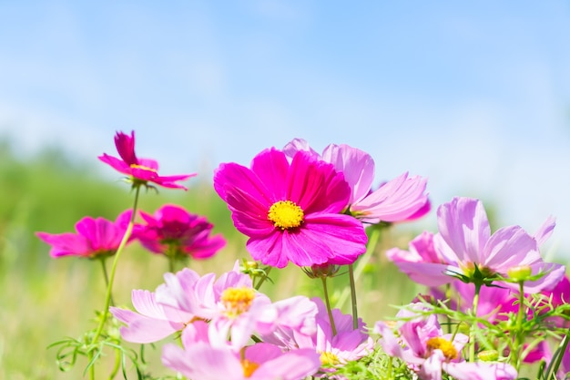 Campo e cielo di smmer con i fiori freschi rosa dell'universo