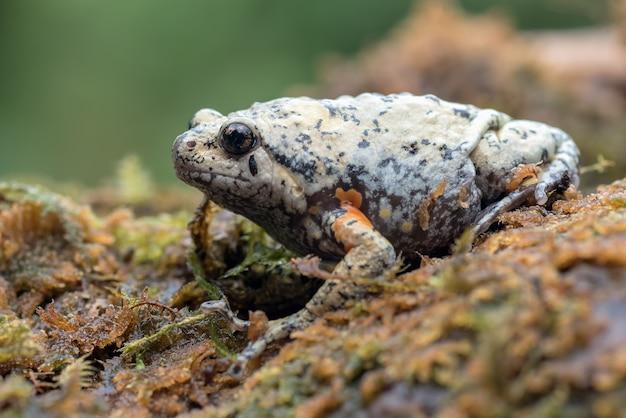 Kaloula baleata di rana a bocca stretta con dita lisce nel muschio