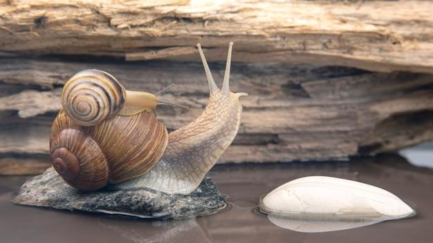 La lumaca sale di pietra in pietra. molluschi e invertebrati.