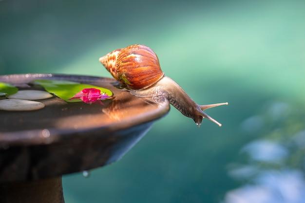 Lumaca in una conchiglia striscia su una pentola di ceramica con acqua, giorno d'estate in giardino