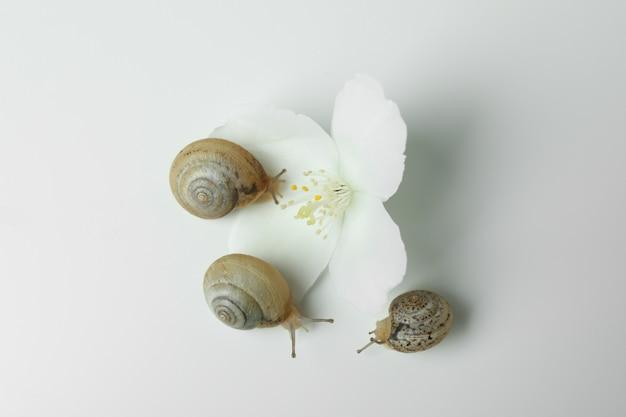 Lumache con guscio e fiore su sfondo bianco
