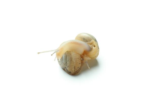 Lumache con guscio isolato su sfondo bianco