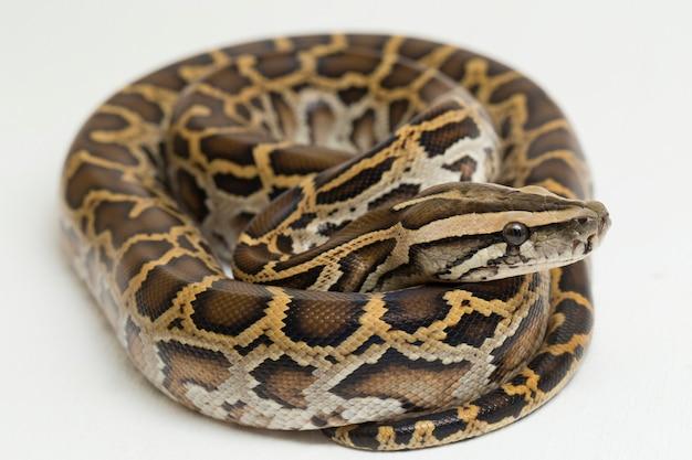 Serpente burmese python python molurus bivittatus isolato