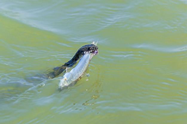 Il serpente prende un pesce nell'acqua