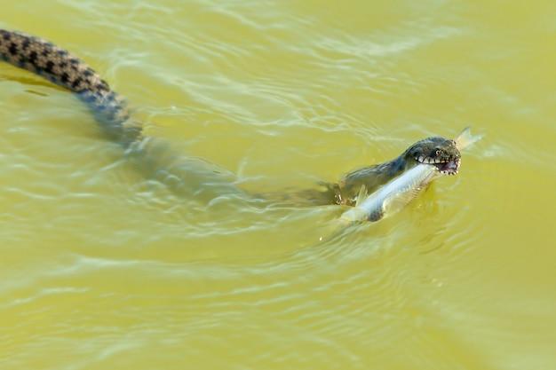 Il serpente mangia il pesce il serpente caccia il pesce nell'acqua il serpente prende il pesce e vuole
