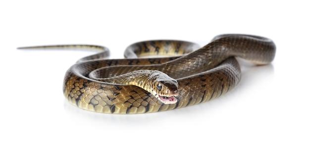 Serpente isolato su sfondo bianco