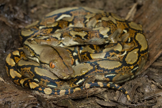 Snake reticulated python (python reticulatus)