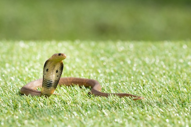 Serpente cobra siamese (naja kaouthia) sull'erba verde