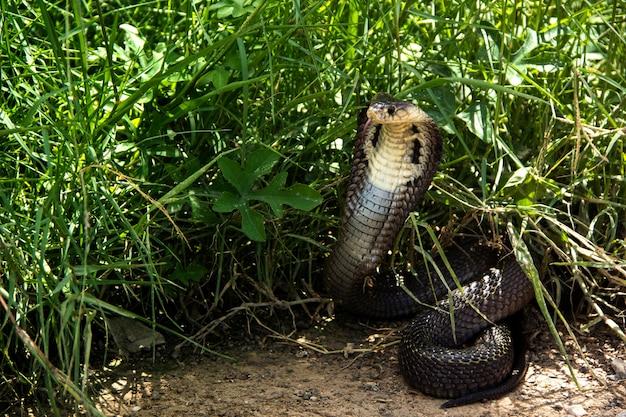 Serpente cobra siamese (naja kaouthia) cacca testa viso e corpo in natura dense erbe.
