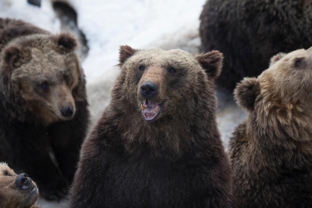 Orso della neve in piedi con la folla di orso