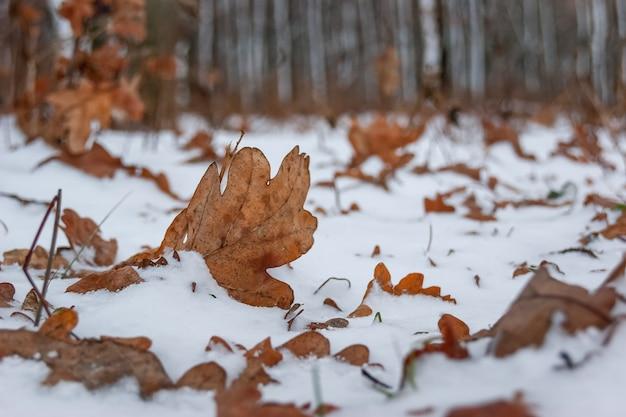 Foglie di quercia secche marroni coperte di neve contro lo sfondo di alberi nella foresta, inverno