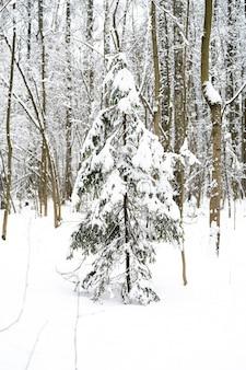 Alberi di natale innevati nella foresta di inverno nevoso