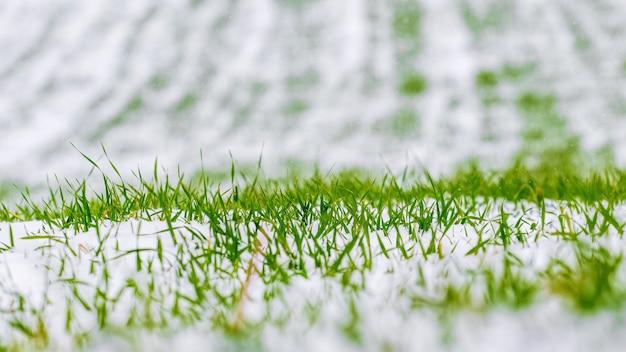 Campo verde innevato di grano invernale, erba sotto la neve