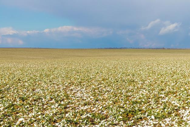 Germogli verdi innevati di piante in un campo, campo in inverno, tardo autunno o primavera