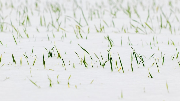 La neve ha coperto i germogli verdi del grano invernale
