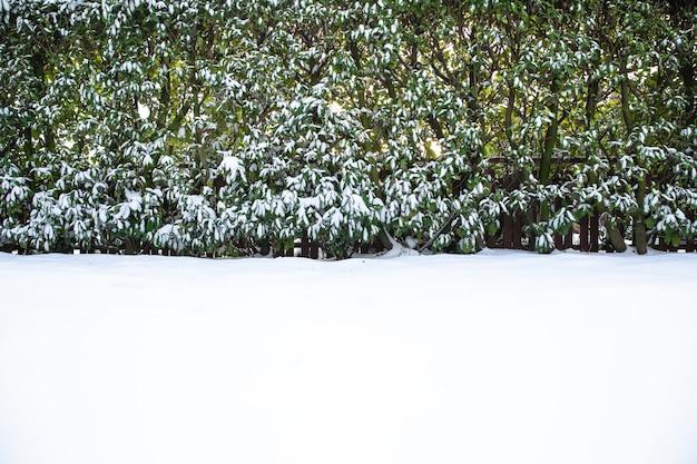Prato innevato e siepe nel cortile in inverno