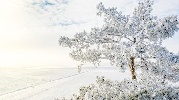 Pino innevato contro il fondo del campo di inverno e cielo blu di inverno