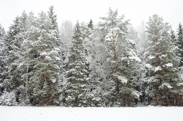 Foresta di pini innevati