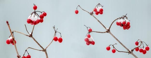 Bacche rosse di viburno coperte di neve su uno sfondo sfocato leggero, viburno vintage