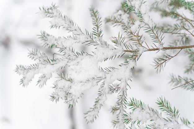 Primo piano innevato dei rami di abete rosso. sfondo invernale