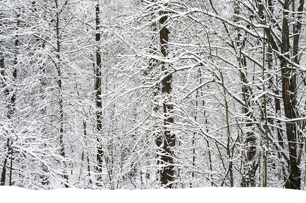 Alberi innevati nella foresta di inverno nevoso