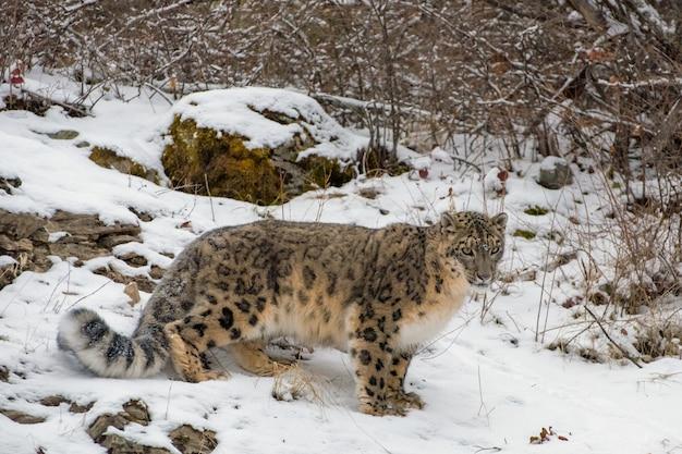 Snow leopard incrostato di neve aggirarsi attraverso il pennello